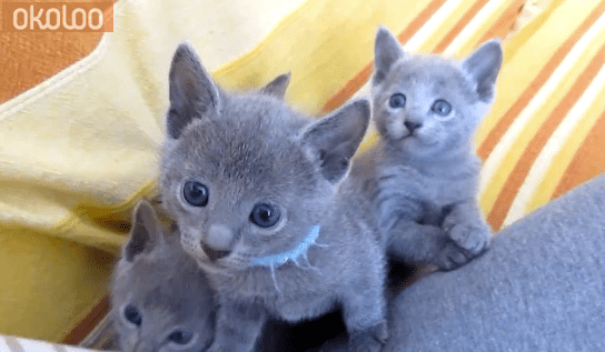 Blue Kittens For Sale : Pets cute russian blue kittens for sale greater london city of