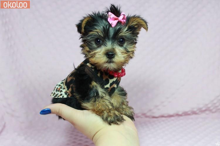 Pets Tiny Teacup Yorkie pups for sale East Midlands